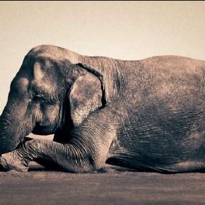 Aldrovandi elefántja