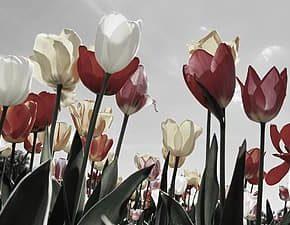 TÁRCA * Tulipánok karanténban